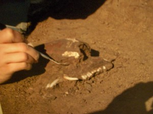 Pig Jaw Being Excavated