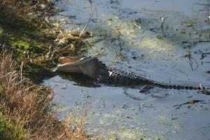 alligator rolling