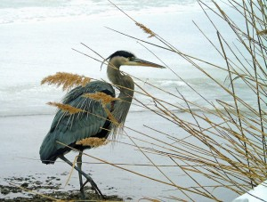 Great Blue Heron in Snowy Reeds_Joann Kingsley (2)